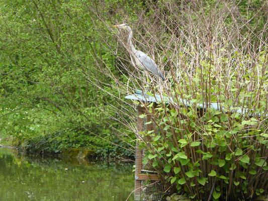 Graureiher am Teich  1. Mai 2016 (Stammgast)