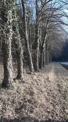Waldrand am Schlosswald  -Januar 2017