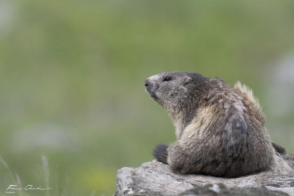 Thomas-Deschamps-Photography-marmotte-ecrins-France-photo-picture-wildlife-marmot