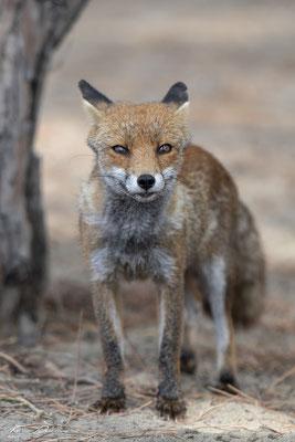 Thomas-Deschamps-Photography-renard-roux-italie-photo-picture-wildlife-red-fox-italy