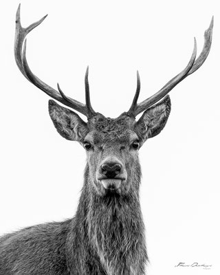 Thomas Deschamps Photography Cerf Angleterre photo Red deer England picture wildlife