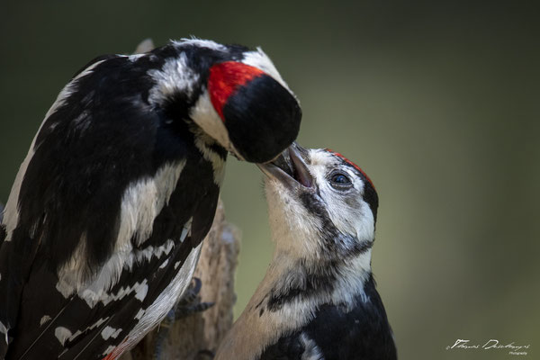 Thomas Deschamps Photography pic epeiche Finlande photo picture wildlife black spotted woodpecker