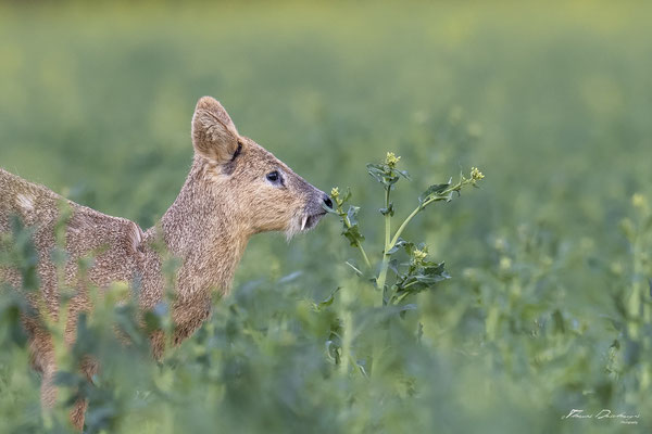 Thomas Deschamps Photography - Hydropote de chine - Angleterre - Chinese water deer wildlife pictures