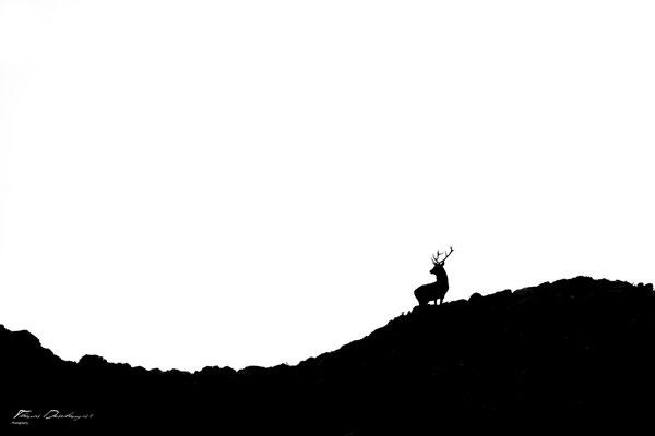 Thomas Deschamps Photography Cerf Ecosse photo Red deer Scotland picture wildlife