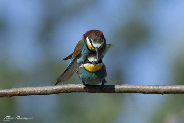 Thomas Deschamps Photography Guepier d'Europe France photo picture wildlife Bee eater