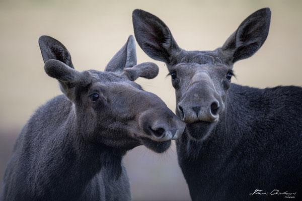 Thomas-Deschamps-Photography-elan-suede-photo-picture-wildlife-moose-sweden