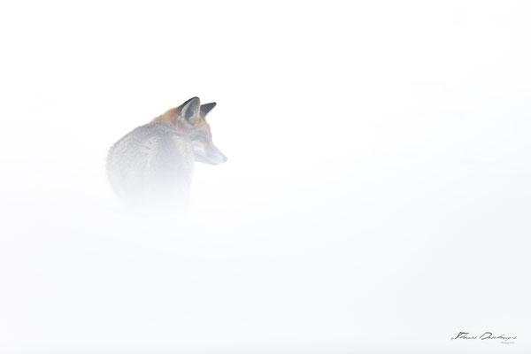Thomas-Deschamps-Photography-renard-roux-France-photo-picture-wildlife-red-fox