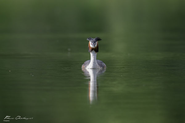 Thomas Deschamps Photography grèbe huppé France photo picture wildlife great crested grebe