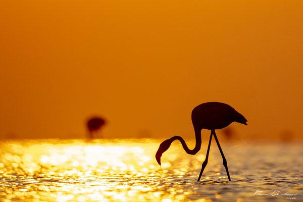 Thomas-Deschamps-Photography-flamant-rose-camargue-France-photo-picture-wildlife-flamingo