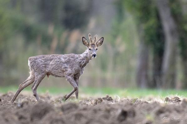 Thomas Deschamps Photography Chevreuil France Roe Deer wildlife pictures