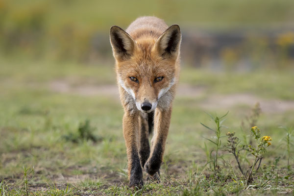 Thomas-Deschamps-Photography-renard-roux-pays-bas-photo-picture-wildlife-red-fox-netherlands