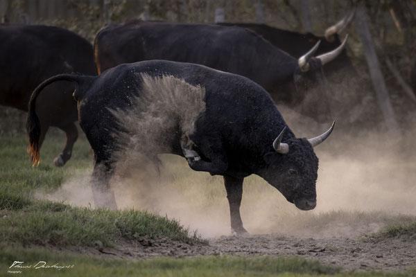 Thomas-Deschamps-Photography-taureau-camargue-France-photo-picture-wildlife-bull