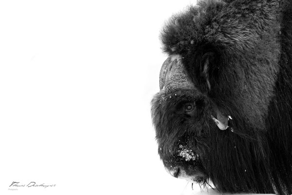 Thomas Deschamps Photography Boeuf musqué Norvège photo Muskox Norway picture wildlife