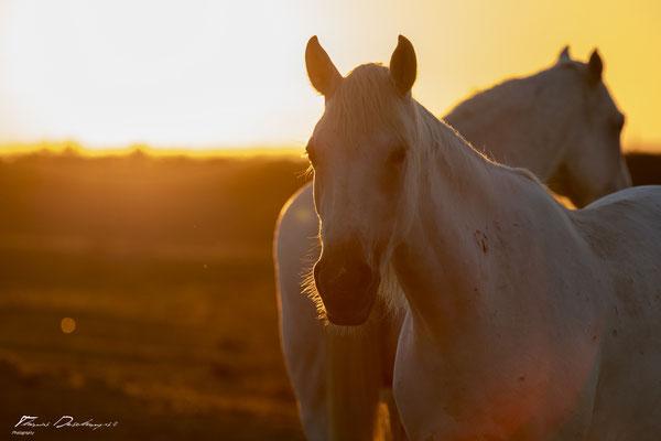 Thomas-Deschamps-Photography-cheval-blanc-camargue-France-photo-picture-wildlife-horse