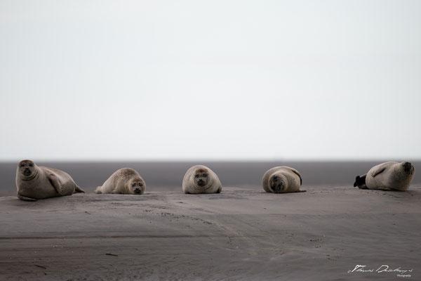 Thomas-Deschamps-Photography-phoque-veau-marin-france-photo-picture-wildlife-harbor-seal