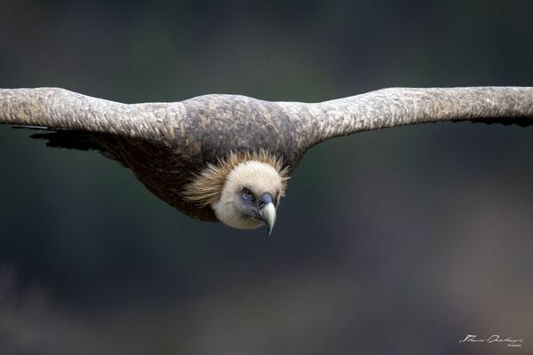 Thomas Deschamps Photography Vautour fauve France  baronnies provence griffon vulture wildlife pictures
