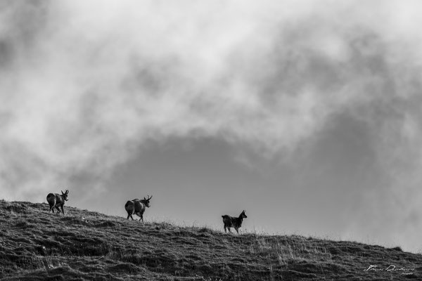 Thomas Deschamps Photography Chamois France photo picture wildlife
