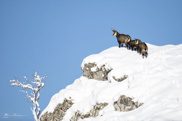 Thomas Deschamps Photography Chamois Photo France Wildlife pictures