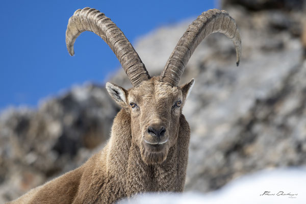 Thomas Deschamps Photography Bouquetin France Alpes Great ibex wildlife pictures