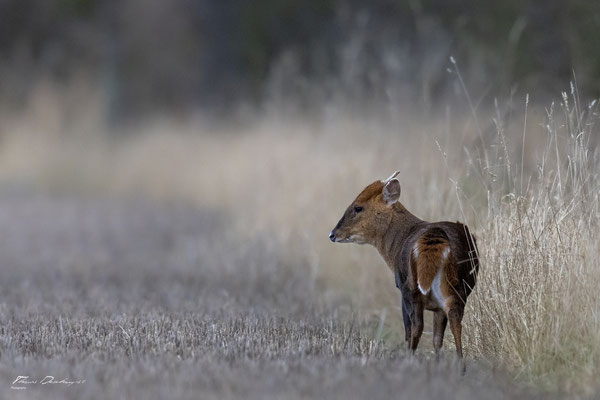 Thomas-deschamps-photography-Muntjac-Angleterre-Muntjac-England-wildlife-pictures
