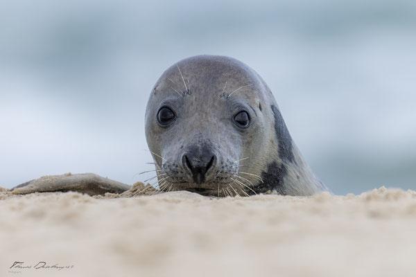 Thomas-Deschamps-Photography-phoque-veau-marin-Danemark-photo-picture-wildlife-harbor-seal