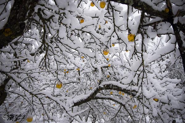 Pommier d'hiver, Oisans, novembre 2020.