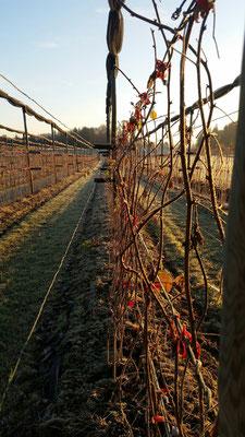 Himbeeranlage Winter 2016