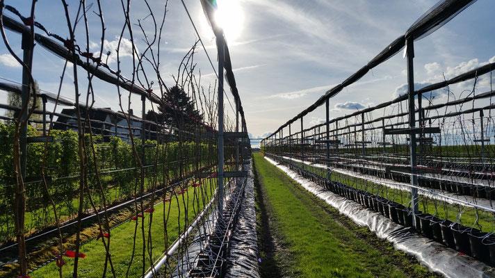 Himbeer-Topf-Anlage Frühling 2016