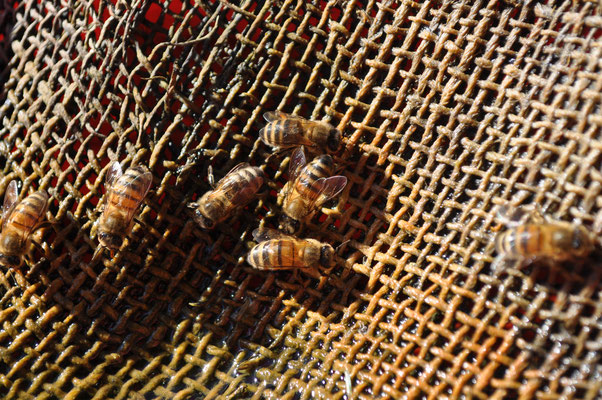 Bienen bei der Wasseraufnahme Juli 20
