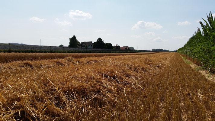 Getreideernte Sommer 2015