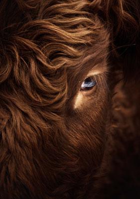 Vache de race Salers - Champsaur  (Hautes Alpes - France) © Arzur Michaël