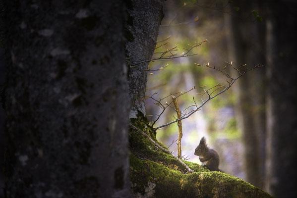 Écureuil roux - Champsaur  (Hautes Alpes - France) © Arzur Michaël