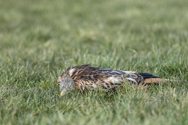 Toter Rotmilan unter einer Windkraftanlage. Quelle: Seifert/DJV