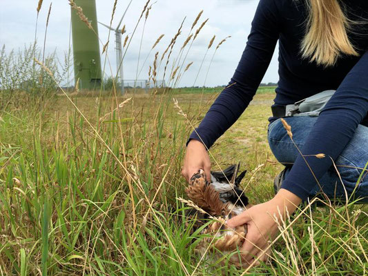 Der Rotmilan ist immer häufiger Opfer von Windkraftanlagen. Quelle: Seifert/DJV