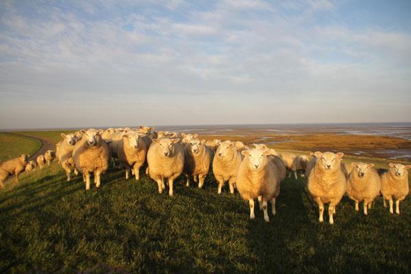 Morgendliche Begrüßung durch die Schafe direkt vor der Haustür auf dem Deich