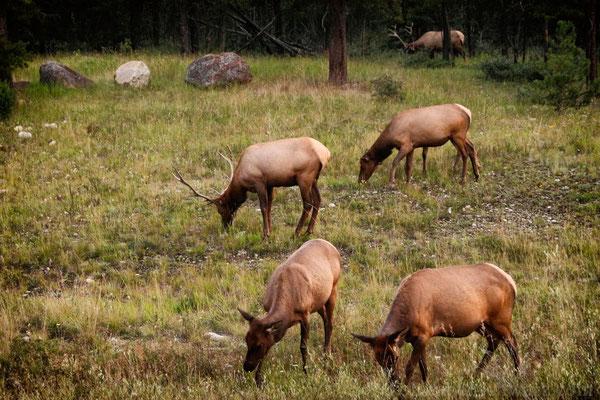 Wapiti in Jasper - Kanada