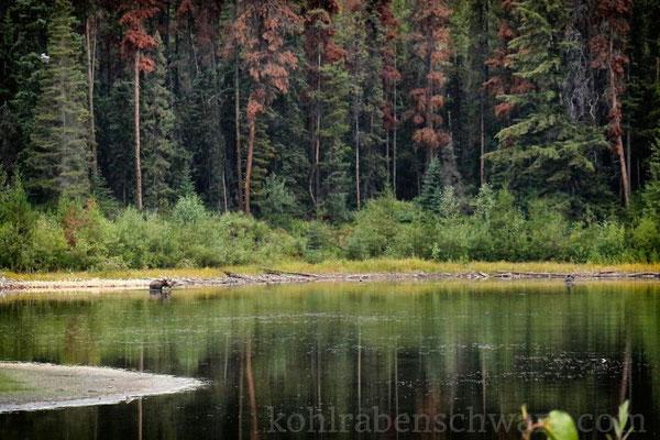Elch in Jasper - Kanada