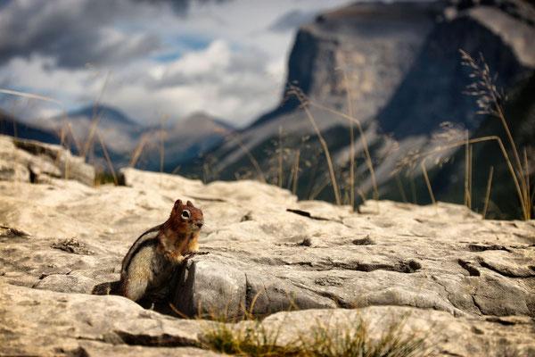 Streifenhörnchen am Lake Minnewanka