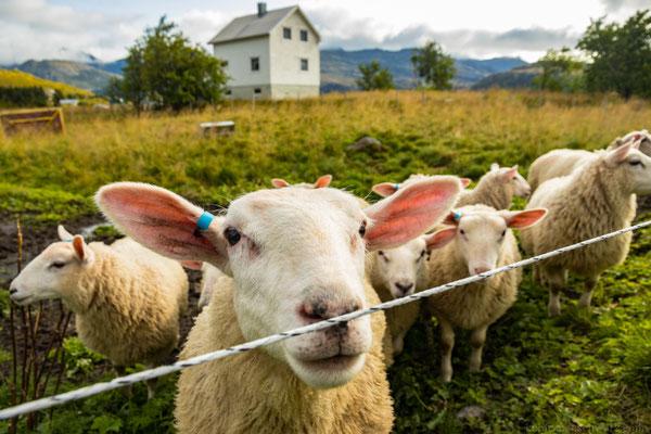 Stromschlag inklusive (für das Schaf)
