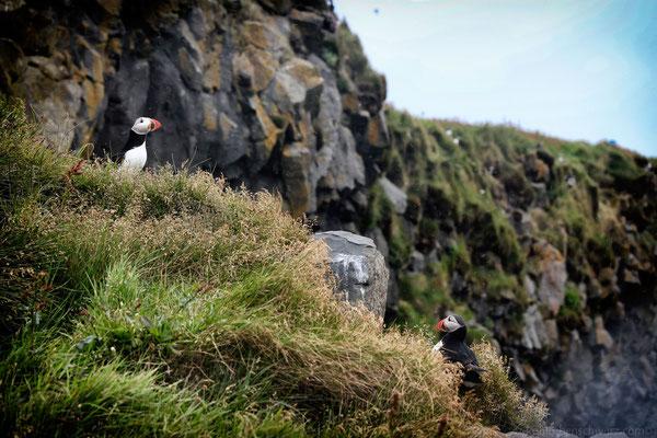 Papageientaucher - Island -  bei Dyrholaey
