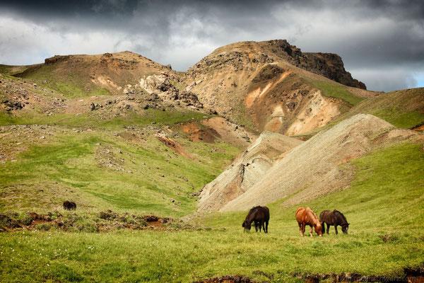 Wildpferde bei Hveragerdi - Island