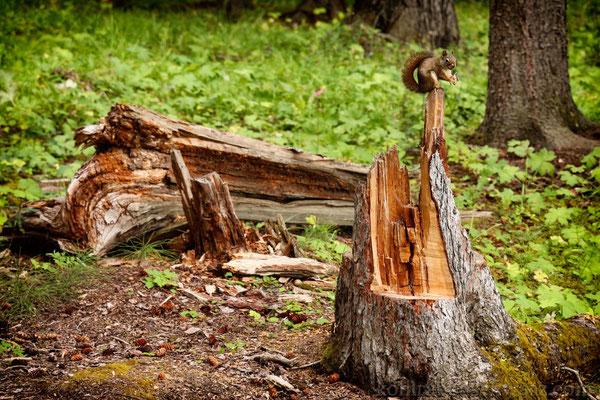 Eichhörnchen in Banff