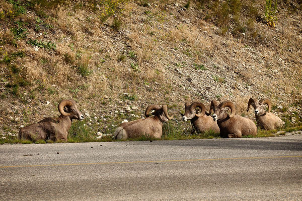 Big Horn Sheeps bei Radium Hot Springs