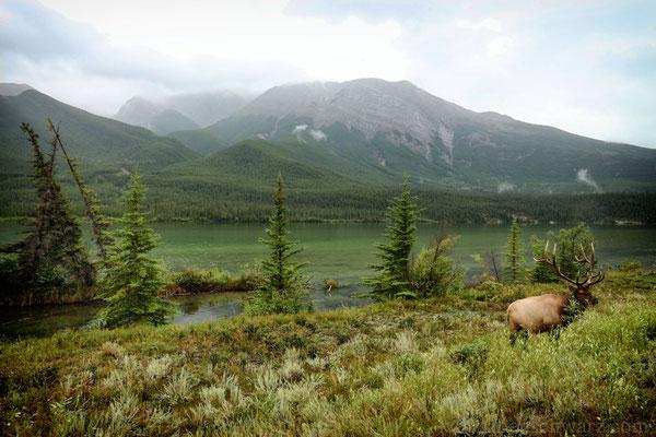 Wapitihirsch in Jasper - Kanada