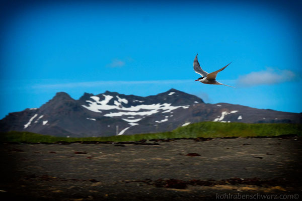 Vögel auf Snaefellsnes - Island
