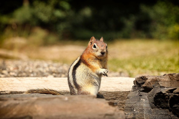 Streifenhörnchen am Lake Minnewanka - Kanada