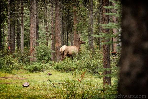 Wapitikuh auf dem Wapiti Campground bei Jasper - Kanada