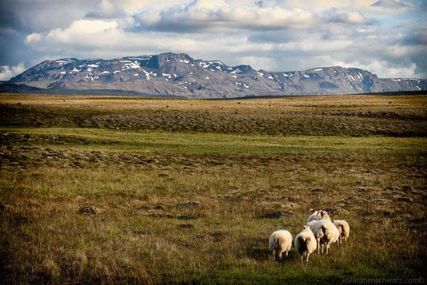 Schafe in Island