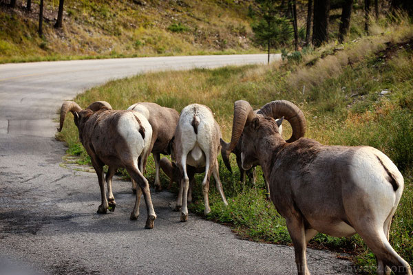 Big Horn Sheeps bei Radium Hot Springs - Kanada