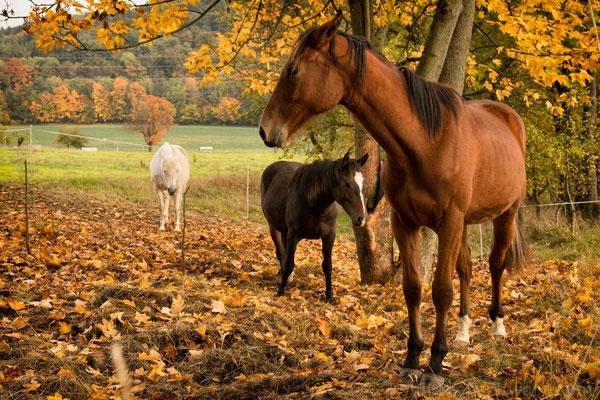 Pferde auf der Koppel bei Buchfart, nahe Weimar